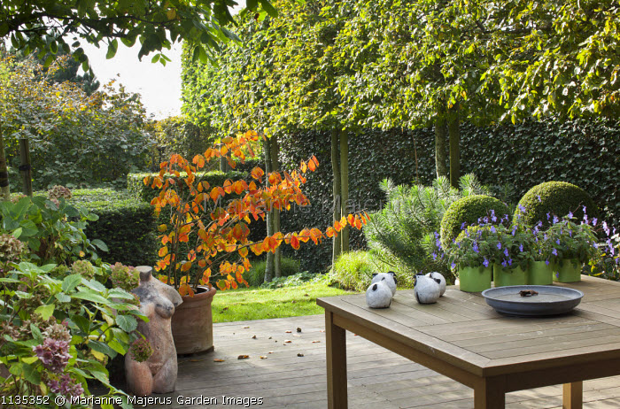 Hamamelis in container on patio, wooden table, terracotta bust, pleached hornbeams, yew hedges