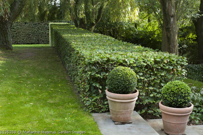 Hornbeam hedge under Weeping willow, clipped box balls in containers on steps