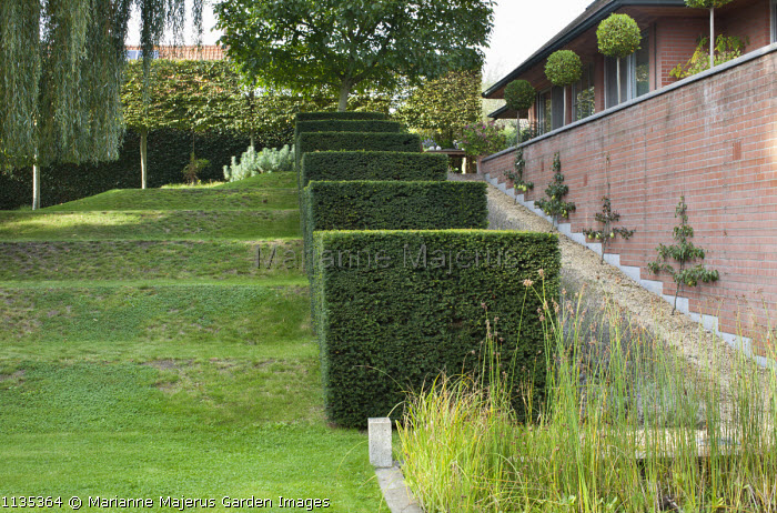 Stepped row of clipped yew cubes in sloping garden