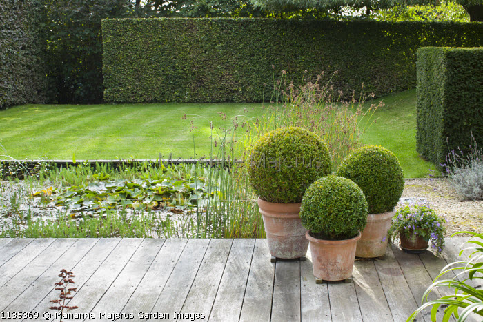 Clipped box balls in containers on decking by pond, yew hedge