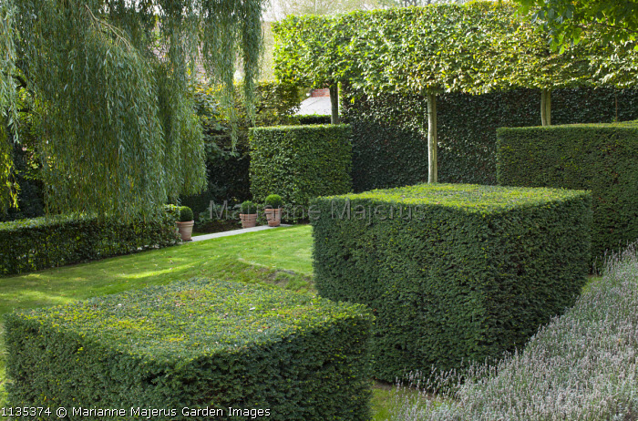 Row of clipped yew cubes in sloping garden, hornbeam hedge, Weeping willow, pleached trees