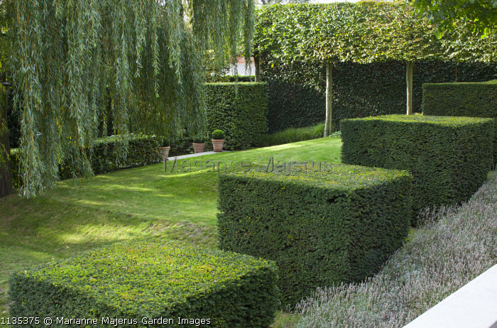 Row of clipped yew cubes in sloping garden, hornbeam hedge, Weeping willow