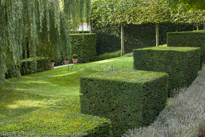 Row of clipped yew cubes in sloping garden, hornbeam hedge, lawn, Weeping willow