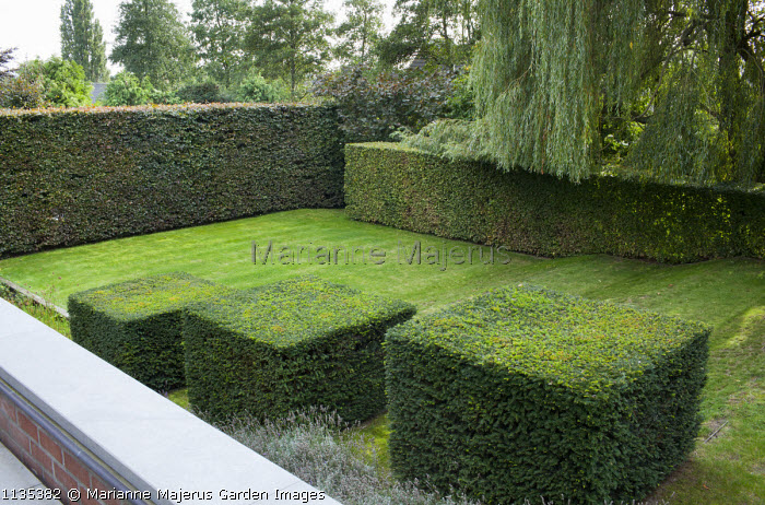 Row of clipped yew cubes in sloping garden, hornbeam hedges, garden 'room', Weeping willow, lavender