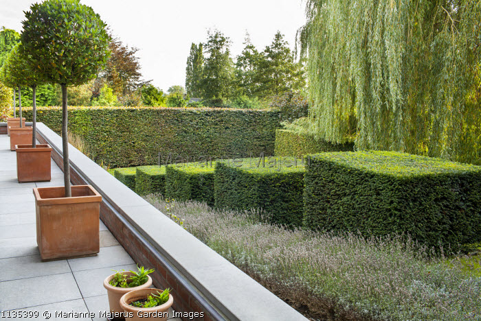Stepped row of clipped yew cubes in sloping garden, lavender, Weeping willow, standard trees in containers on balcony, hornbeam hedge