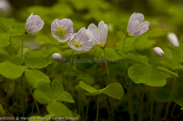 Wood Sorrel, Oxalis acetosella in flower in spring in deciduous woodland.