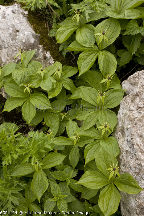 Group of Herb Paris, Paris quadrifolia in limestone crevice, Slovenia.