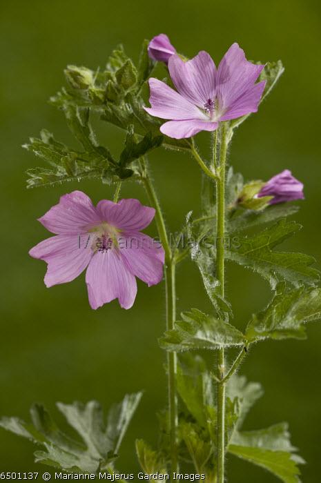 musk Mallow, Malva moschata, in flower; summer, Dorset
