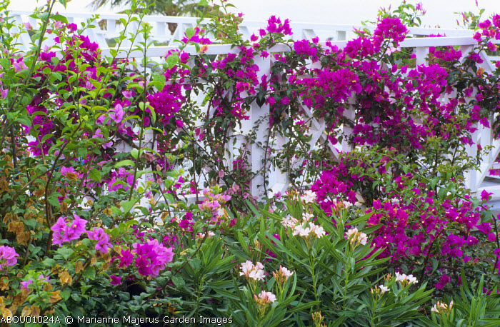 Bougainvillea on railings, Nerium oleander