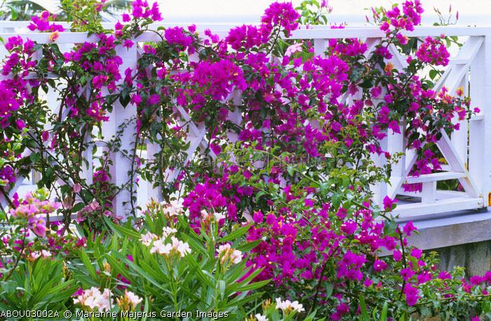 Bougainvillea on railings, Nerium oleander