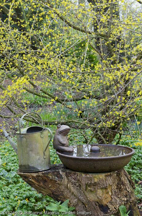 Cornus mas, metal pig feeder trough on tree stump, watering can