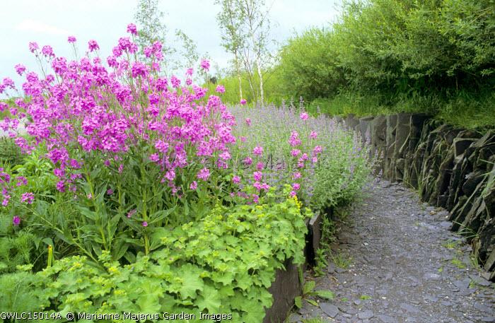 Hesperis matronalis, Alchemilla mollis, Nepeta racemosa 'Walker's Low' slate wall and path, birch trees