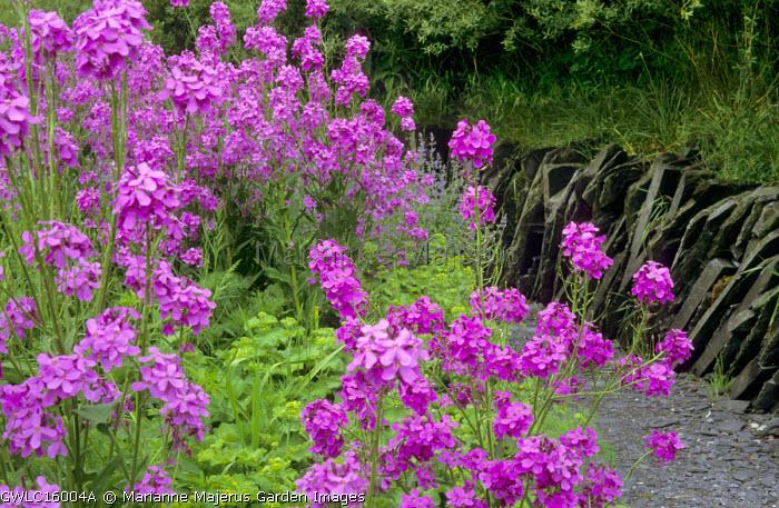 Hesperis matronalis violet, Alchemilla mollis, slate wall and path