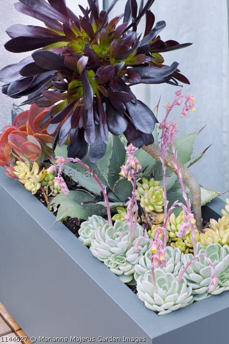 Aeonium and echeveria in contemporary trough container on patio