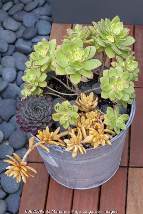 Echeverias in metal bucket on patio