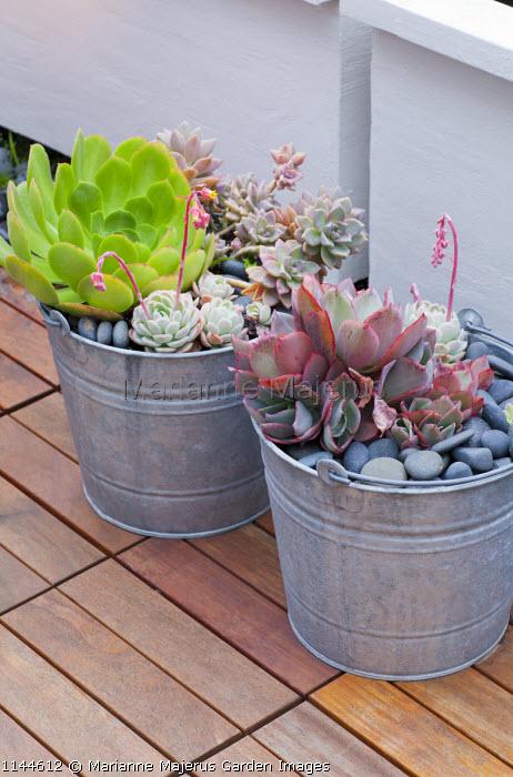 Echeverias in metal buckets on patio, pebble mulch