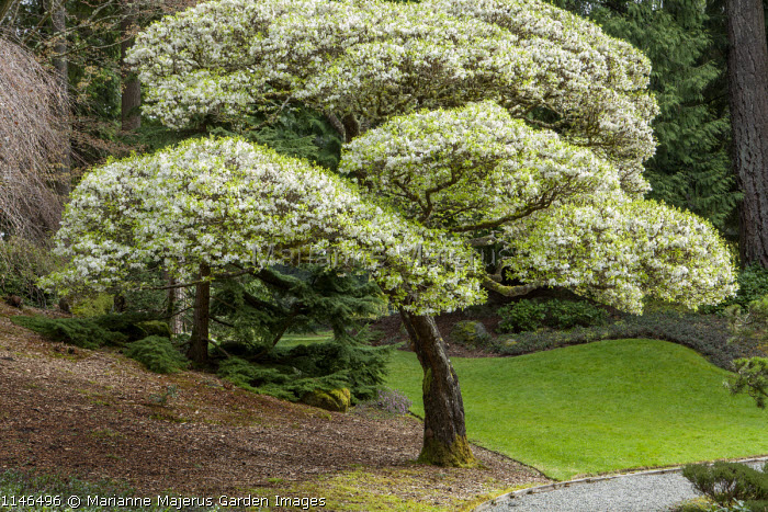 Cloud-pruned pear tree, niwaki