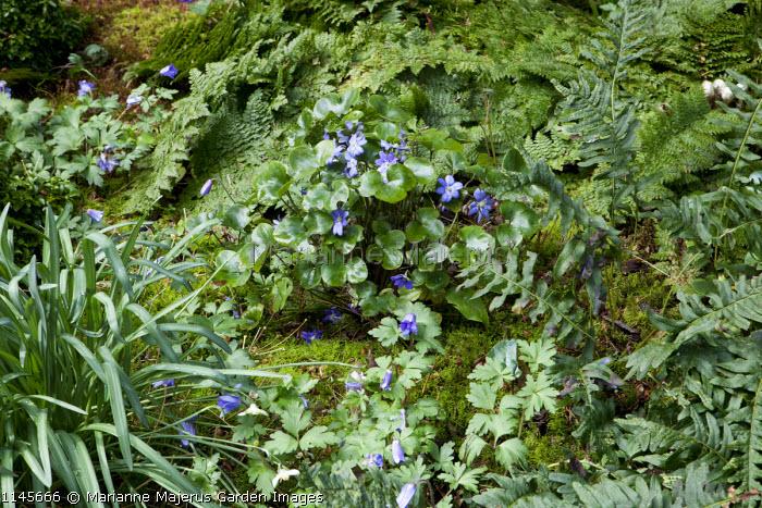 Hepatica, Anemone blanda, ferns