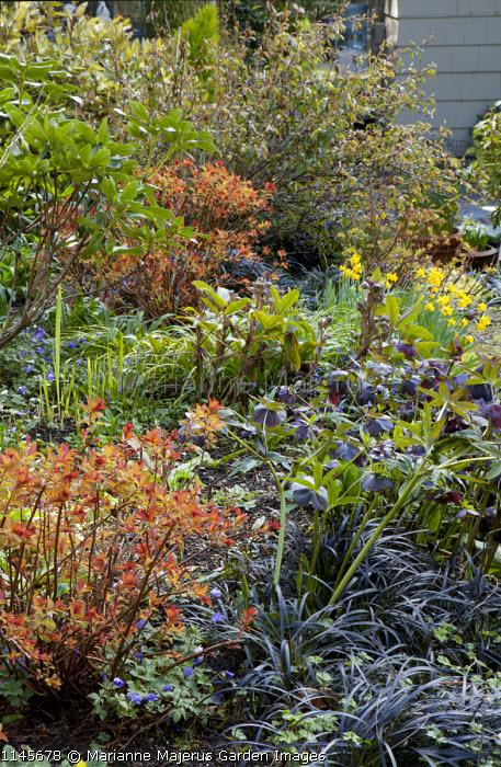 Spiraea 'Magic Carpet', Ophiopogon planiscapus 'Nigrescens', Helleborus x hybridus