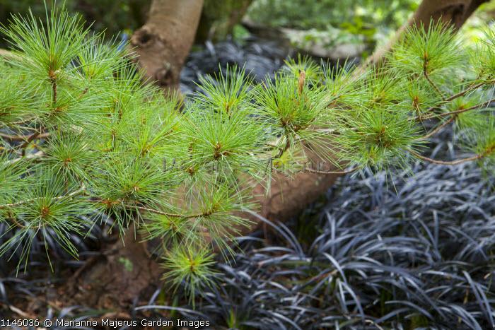 Pinus strobus 'Umbraculifera' underplanted with Ophiopogon planiscapus 'Nigrescens'