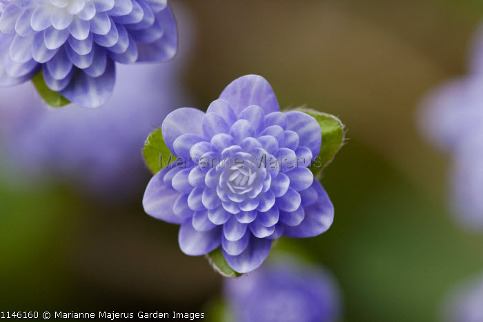 Hepatica nobilis var. japonica 'Haruno-awajuki'