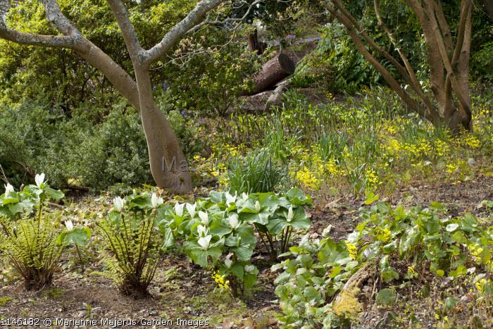 Trillium chloropetalum and Epimedium perralderianum, Dryopteris blanfordii