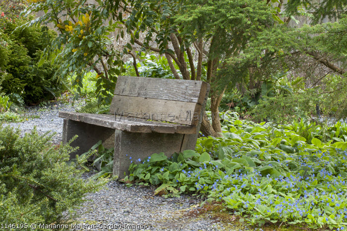 Rustic wooden bench under mahonia, Brunnera macrophylla