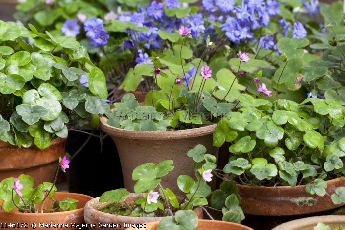 Hepatica collection in terracotta containers