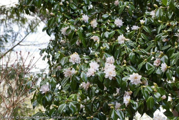 Camellia japonica 'Hagoromo' syn. 'Magnoliiflora'