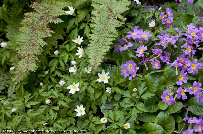 Anemone nemorosa, Primula vulgaris, ferns