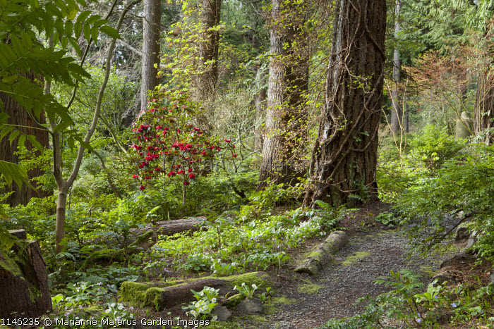 Path through woodland garden, rhododendron, primula, hepatica, polygonatum
