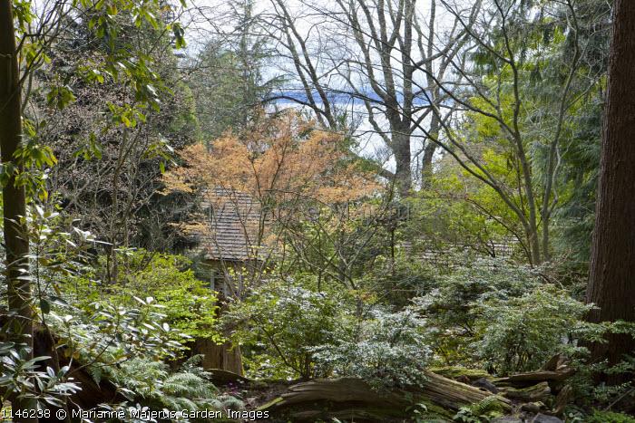 Woodland in Spring, Acer palmatum 'Katsura'
