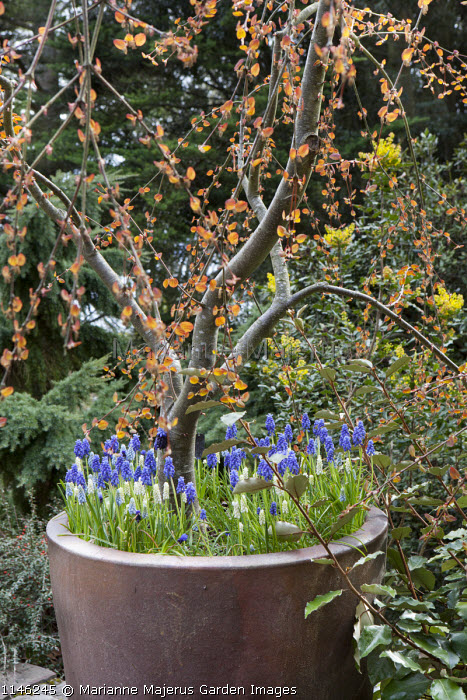 Cercidiphyllum japonicum f. pendulum 'Amazing Grace' in container underplanted with Muscari armeniacum
