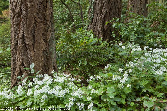 Pachyphragma macrophyllum, mahonia