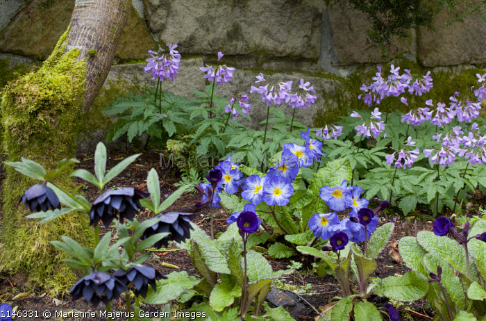 Cardamine quinquefolium, Helleborus x hybridus Winter Jewels Series Onyx Odyssey strain, Primula 'Blue Denim'