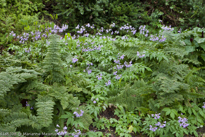 Cardamine quinquefolia, Polystichum setiferum Plumosomultilobum Group