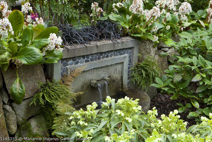Helleborus argutifolius syn. Helleborus corsicus, Bergenia 'Bressingham White', wall water fountain, Ophiopogon planiscapus 'Nigrescens', viburnum