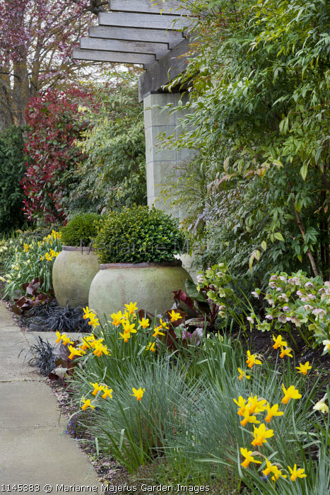 Clipped box in large containers flanking stone entrance archway, Ophiopogon planiscapus 'Nigrescens', Narcissus 'Jetfire'