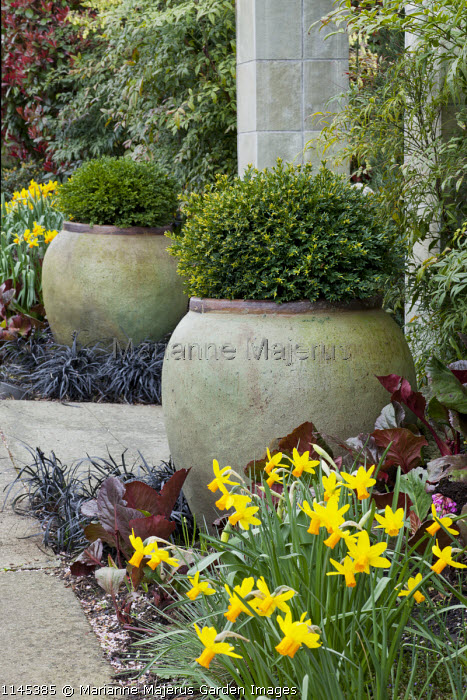 Clipped box in large containers flanking stone entrance archway, Ophiopogon planiscapus 'Nigrescens', Narcissus 'Jetfire', bergenia leaves