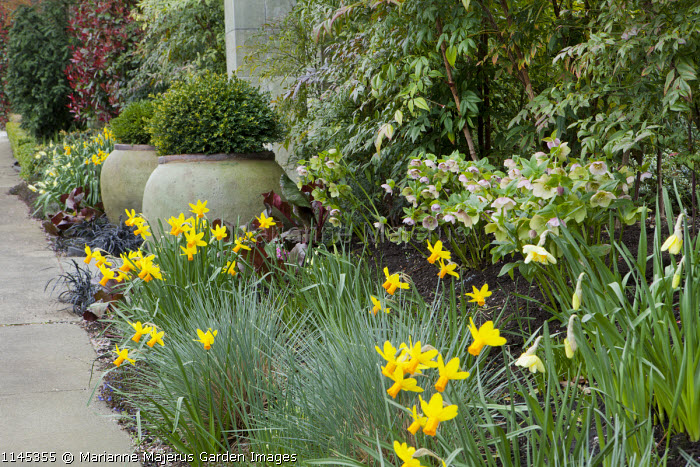 Clipped box in large containers flanking stone entrance archway, Ophiopogon planiscapus 'Nigrescens', Narcissus 'Jetfire', Helleborus x hybridus