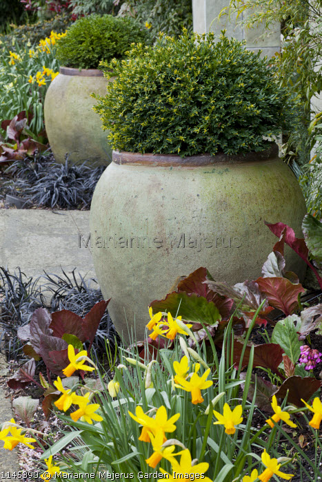 Clipped box in large containers flanking stone entrance archway, Ophiopogon planiscapus 'Nigrescens', Narcissus 'Jetfire', bergenia