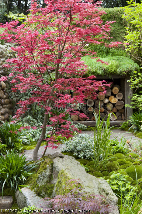 Acer and log storage in Japanese garden, rocks, moss