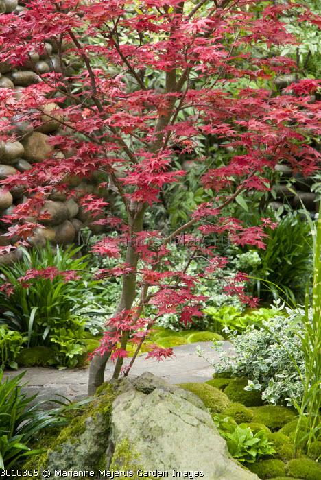 Acer palmatum, rock, moss