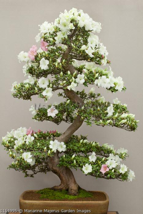 Rhododendron lateritium bonsai in container
