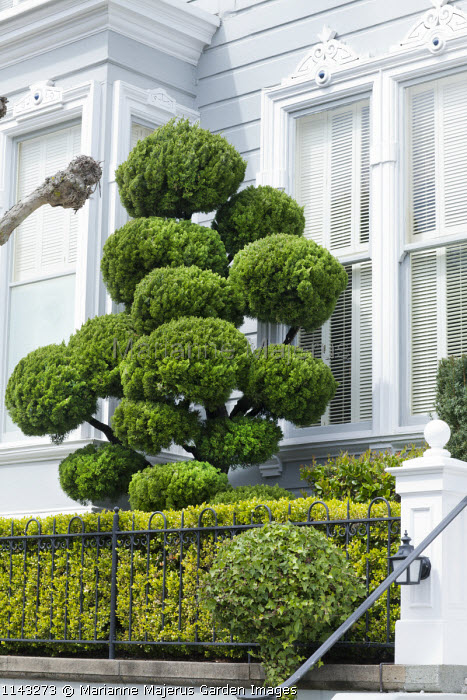 Cloud-pruned conifer in front garden, ivy trained around lollipop standard frame, niwaki