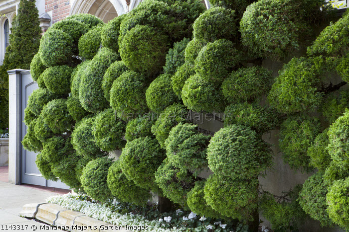 Cloud-pruned conifers against wall in front garden, San Francisco