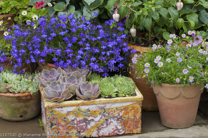 Lobelia, echeveria and sempervivums in containers on patio