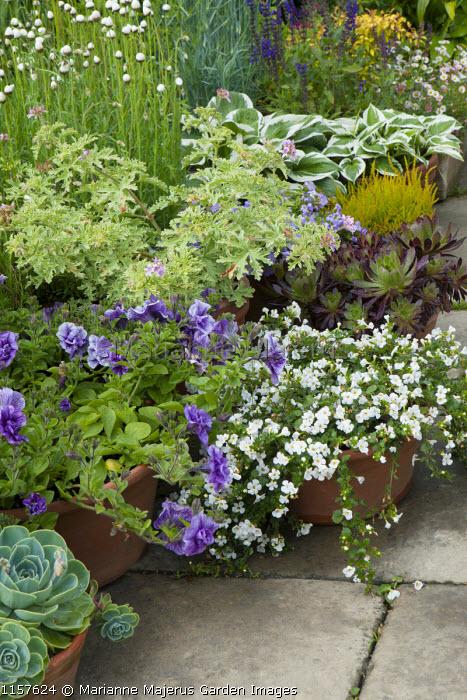 Bacopa, sempervivum, pelargonium, petunia, hosta, aeonium and echeveria in pots on patio