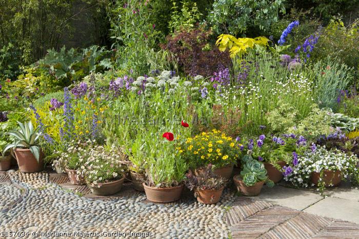 Display of terracotta pots, Delphinium New Millenium Mix, Helipterum roseum 'Pierrot', Allium nigrum, poppies, sempervivum, echeveria, petunia, bacopa, echium, agave, pelargonium, cotinus, pebble paving