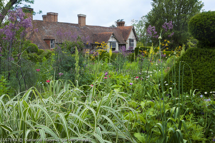View to house, yew topiary, Thalictrum 'Elin', verbascum, Miscanthus sinensis var. condensatus 'Cosmopolitan'